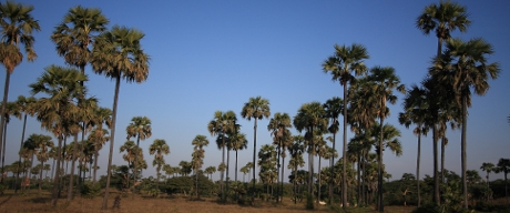 Palm trees in Bagan.
